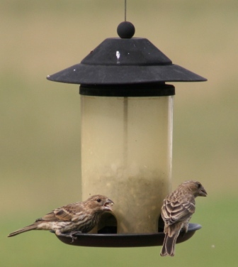 Finches_3_2
