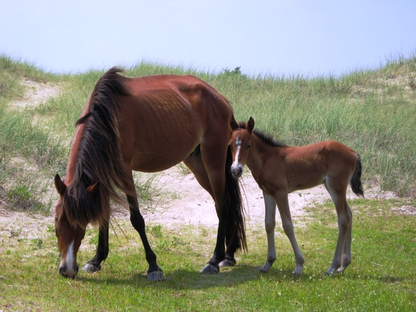 Horses_on_shackleford_island_2