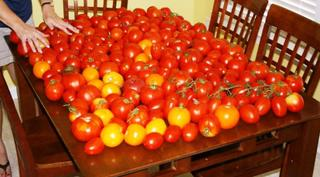 Tomatoes_6